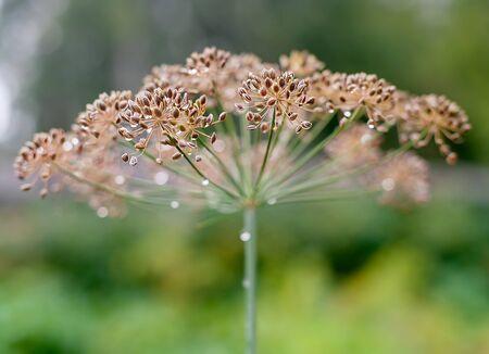 Background with dill umbrella closeup. Garden plant. Fragrant dill on the garden in the garden 版權商用圖片