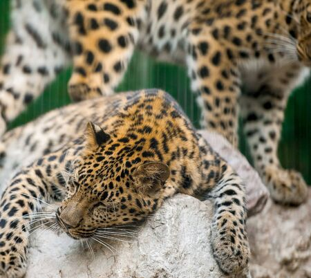Adult male persian leopard (Panthera pardus saxicolor) sleeping in the daytime on the stones 版權商用圖片