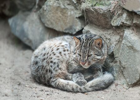 Leopard bengal cat,  wild animal live in tropical rain forest, South East Asia. Small tiger mammal. Cute furry adult cat on the sand 版權商用圖片