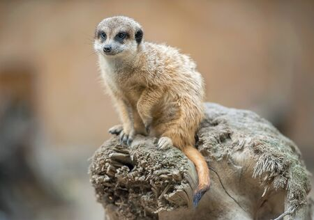 Meerkat (Suricata suricatta). Program for the conservation of rare and endangered species of animals
