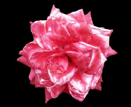rubicund:       rose