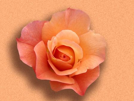 rubicund:   rose                              Stock Photo