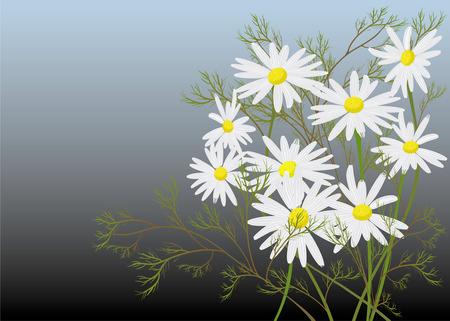 chamomile Illusztráció