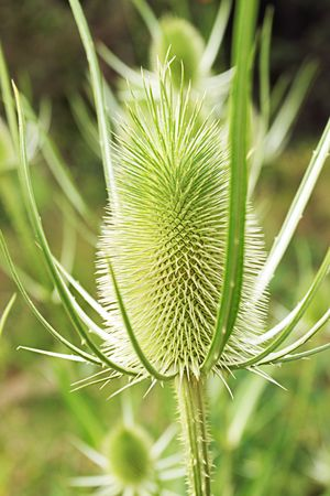 prickly: prickly grass