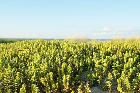 seacoast: Grass in dunes on seacoast.
