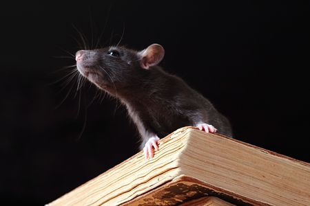 rat: rat  in library,focus on a head