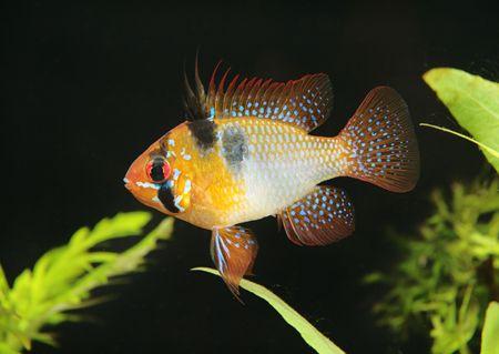 papiliochromis Ramirezi, aquarian small fish from Amazon photo