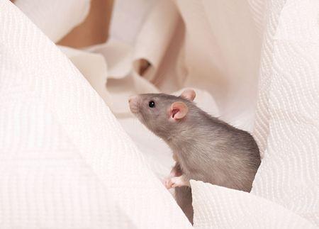 cute rat on a white napkin Stock Photo - 3877644
