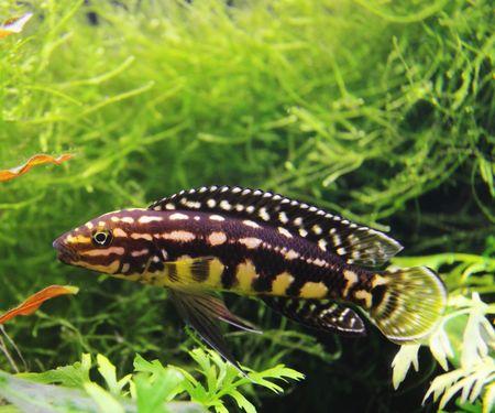 aquarian: julidochromis Marlieri; aquarian small fish from lake Tanganic;