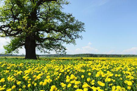 old oak on a  meadow photo