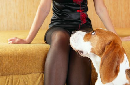 beagle and woman in black stockings,focus on a dog photo