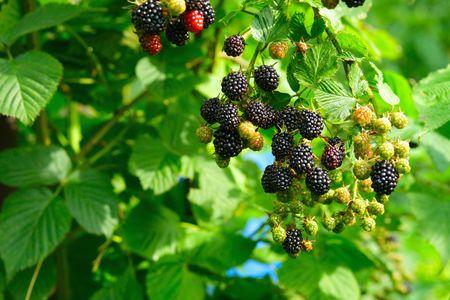 blackberry bush: ripe  blackberry on a branch