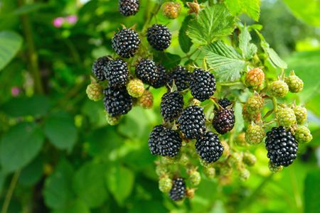 ripe  blackberry on a branch