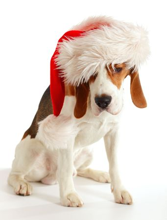 beagle in red hat on a white background Stock Photo - 6023712