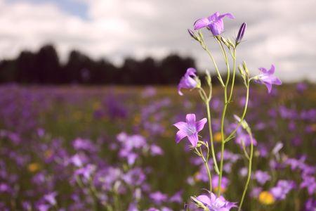 bellflower: bellflower on a meadow.(Campanula )