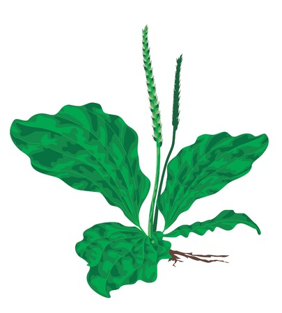 weegbree: plantain on a white background.