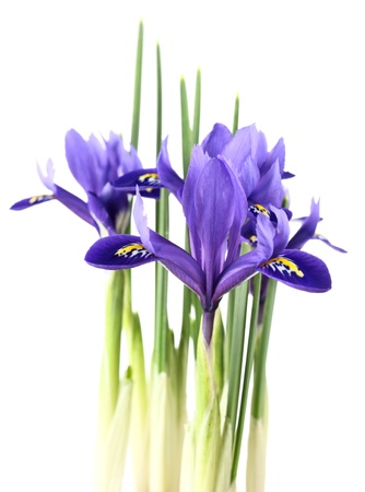 "iris reticulata: iris reticulata ""Harmony"" on a white background."