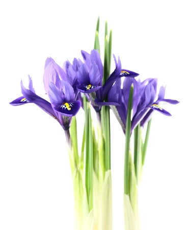"irises: iris reticulata ""Harmony"" on a white background."