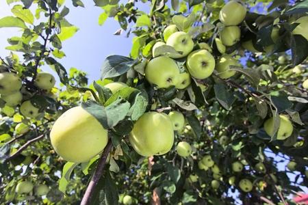verde manzana: manzanas verdes en un árbol en el huerto. Foto de archivo
