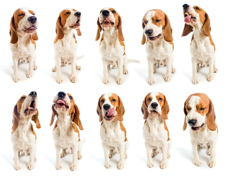 beagle grimaces, on a white background.
