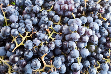 The Isabella grape is a cultivar derived ,is used for table, juice and wine production.