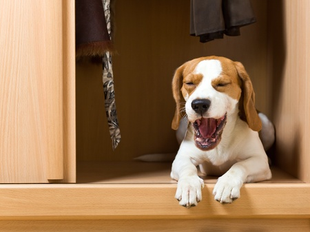doggie: The missing dog has climbed in a wardrobe. Stock Photo