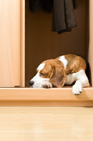 The missing dog has climbed in a wardrobe. photo