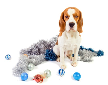 The cute hound and brilliant Christmas ornaments photo