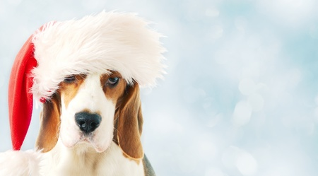 beagle puppy: beagle in red hat on a blue background