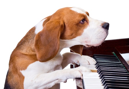 joueur de piano: Chien jouant du piano, sur fond blanc. Banque d'images