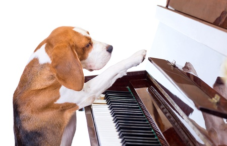 Dog playing the piano,white background. photo
