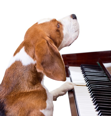 dog sled: Dog playing the piano,white background.