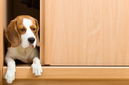 climbed: The missing dog has climbed in a wardrobe. Stock Photo