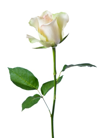 isolated in white background: white rose on a white background. Stock Photo