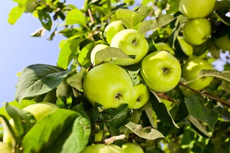 green apples on a tree in orchard. photo