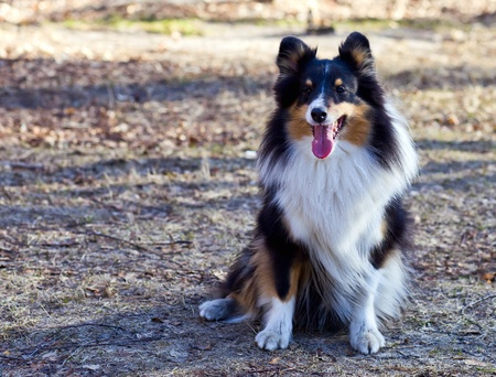 obedient: You see a cute and obedient Border Collie. Stock Photo