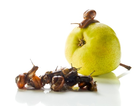 addresses: The snail on a pear addresses to crowd. White reflective background.