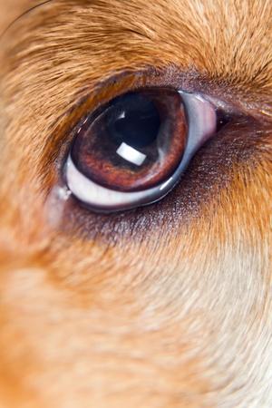 animal eye: Occhio di un cane, macro sparato.