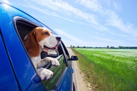 El beagle linda viaja en el coche azul. Foto de archivo