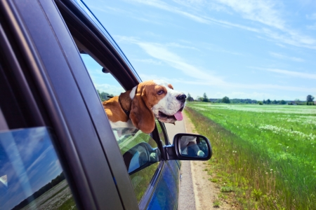 funny car: The cute beagle  travels in the blue car.