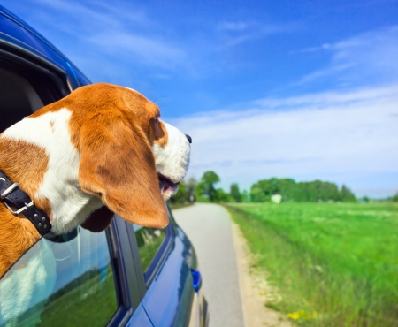The cute dog  travels in the blue car. Stock Photo - 13813546