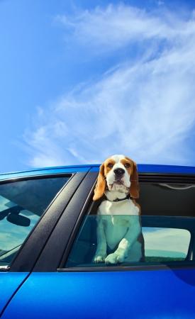 domestic car: The cute beagle  travels in the blue car.