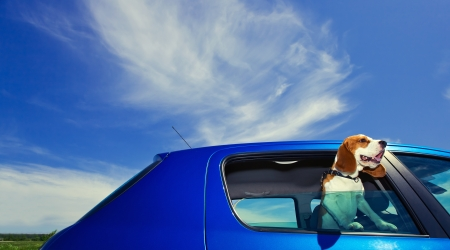 The cute beagle  travels in the blue car  Stock Photo