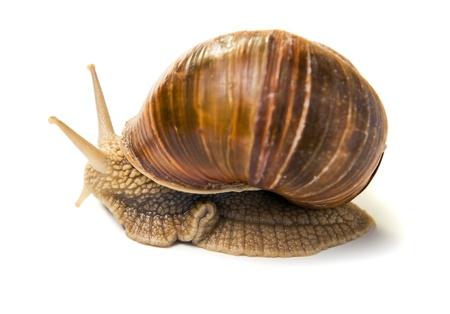grape snail: The big grape snail on a white background