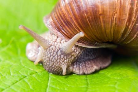 grape snail: The big grape snail eating grape leaves.