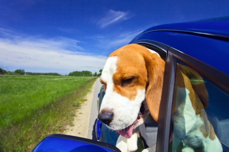 The cute beagle  travels in the blue car.  Stock Photo - 14420718