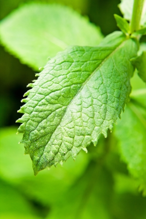 mint leaves: peppermint growing on a bed , macro shot Stock Photo