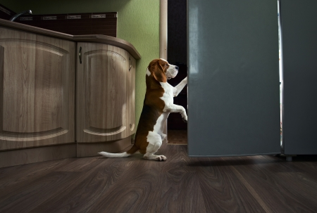 The dog in kitchen searches for something tasty. Stock Photo - 14759213