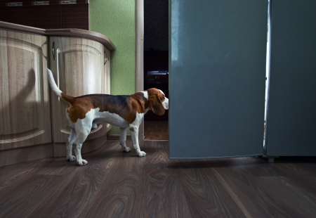 The dog in kitchen searches for something tasty. Stock Photo - 14759212