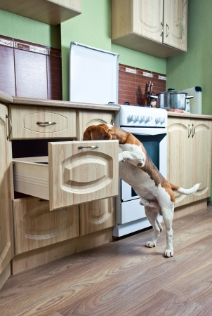 The dog in kitchen searches for something tasty. Stock Photo - 14759220